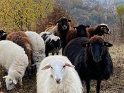 Weideflächen für Schafherde gesucht Umkreis