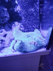 Teppichanemone Krabbe