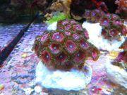 meerwasser anemonen krustenanemonen weichkorallen nano
