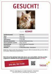 Kater Maine Coon