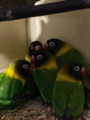 Schwarzköpfchen Agaponiden klein Papagei