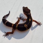Leopardgecko Black Night 1 0