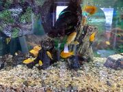 Gelber Labidochromis Yellow Labidochromis caeruleus