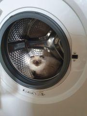 BKH Katze suchen nettes Zuhause