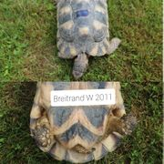Breitrandschildkröte wbl 2011
