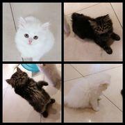Perser Kätzchen Kitten