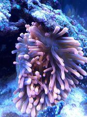 Meerwasser Kupferanemone abzugeben