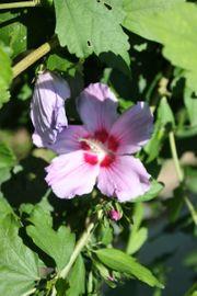 Winterharte Hibisken Hibiskus Garteneibisch