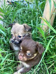 zuckersüße Chihuahuawelpen