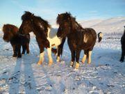 großer stabiler sehr freundlicher Isländer