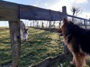 Altdeutscher Schäferhund Rüde