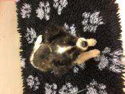 Süßer Chihuahua Rüde 3 Monate