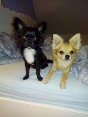Suche Langhaar Chihuahua Weiblich