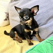 Zuckersüßes Chihuahua Mädchen Welpe