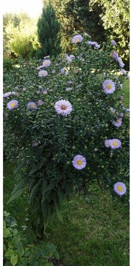 Mehrjährige Blumen pflanzen Stauden Bäumchen: Kleinanzeigen aus Doberschau - Rubrik Pflanzen