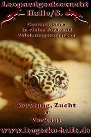 Regelmäßig Leopardgecko Jungtiere zur Abgabe