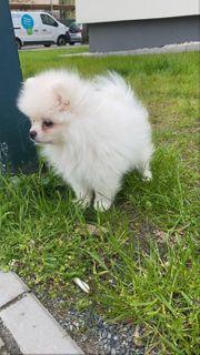 Pomerania Boo