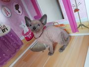 Reinrassige Sphynx Kitten