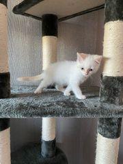 BKH Kitten Auszugsbereit