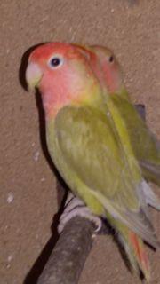 Rosenköpfchen Henne zimt opalin