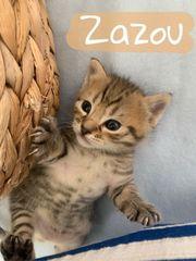 Edelmix Kitten Maine Coon - Khao