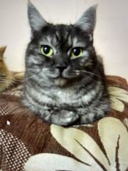 Katze 2 Jahre Mix British