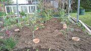 Tomaten Tomatenpflanzen