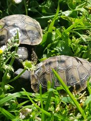 Griechische Landschildkröte NZ 20 Thb