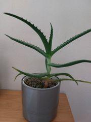 Aloe Vera Bio mit Übertopf