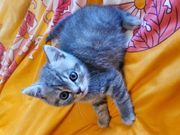 Reinrassige BKH Kitten Taddy