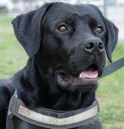 Butch - Labrador-Doggen-Mix - 1 5 Jahre -