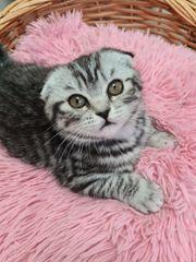 Scottish Fold Kitten BKH Katzenbabys