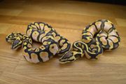 Calico Pastel HET Clown
