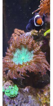 sehr schöne große sandanemone meerwasser