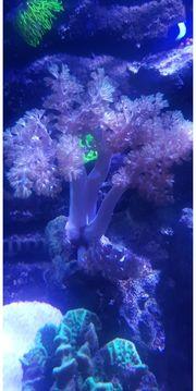 Kenibäumchen Capnella imbricataMeerwasser Ableger koralle