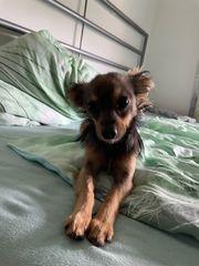 Chihuahua zu verkaufen