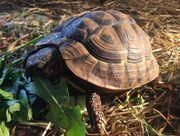 Weibl Griechische Landschildkröte Matti sucht