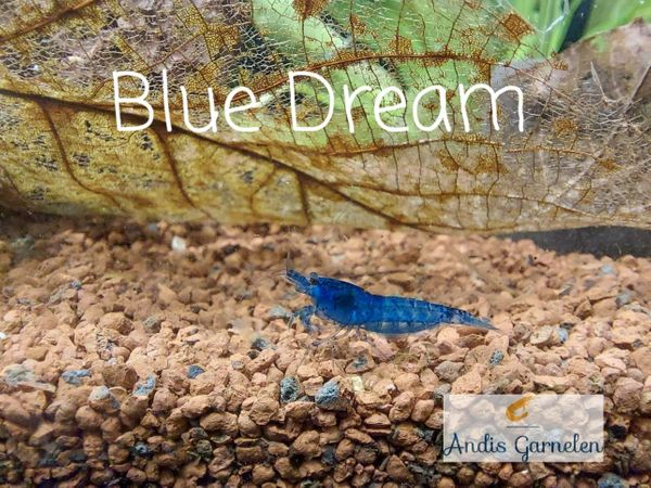 Blue Dream Blue Jelly Red