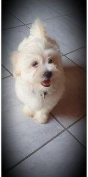 Reinrassiges malteser hund