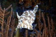 Seegras Tangfeilenfisch Meerwasser