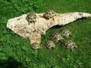 Griechische Landschildkröten NZ19