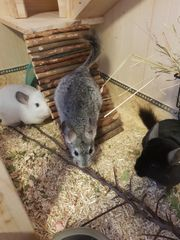 3er Chinchilla Gruppe