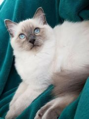 Deckkater Ragdoll in blue point