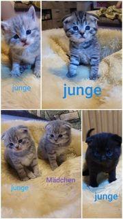 BKH kitten Scottishfold britischkurzhaar kätzchen