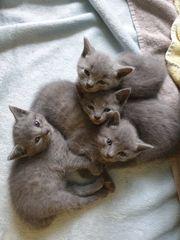 Kitten Kartäuser Karthäuser Babykatzen