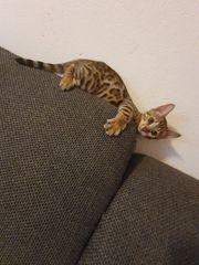 Reinrassige Bengal Kitten zum Verkaufen