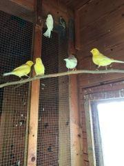 Kanarienvogel Hähne weiss und gelb