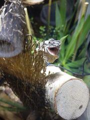 LETZTE CHANCE Eine Kragenechsen Chlamydosaurus