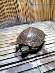 Südliche Zierschildkröte Chrysemys picta dorsalis