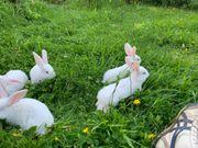 Zika Kaninchen